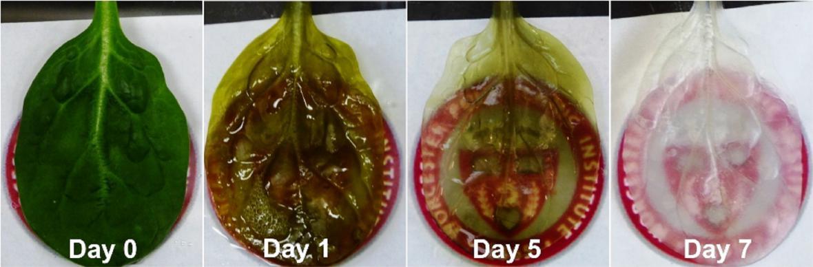 Srdeční tkáň ze špenátu