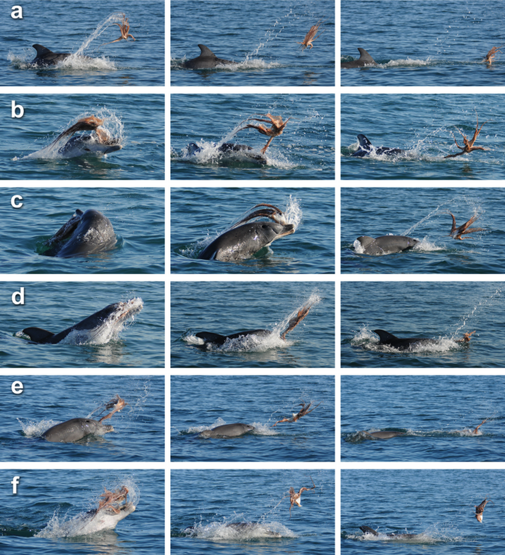 Jak delfín zabíjí chobotnici