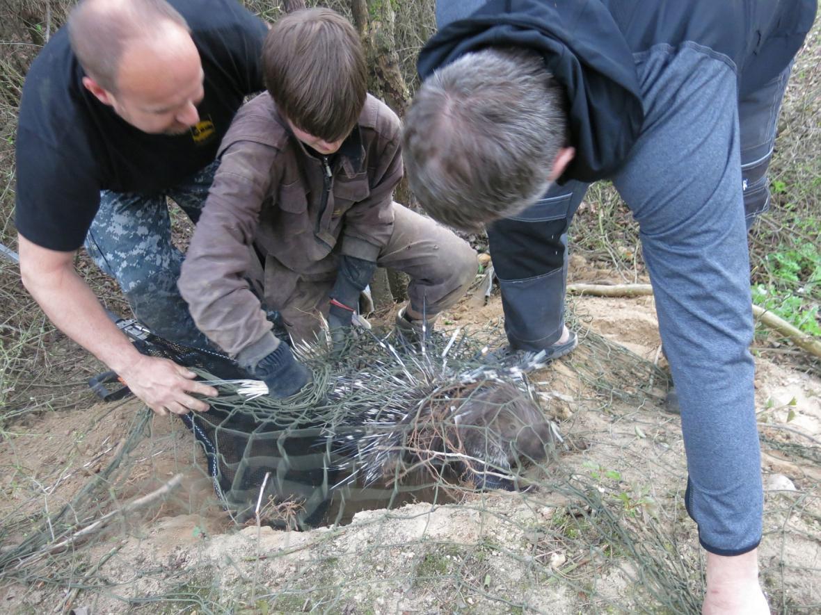 Z plzeňské zoo utekl dikobraz. Po deseti dnech ho našli a z nově vyhrabané nory vykopali zvířecí záchranáři