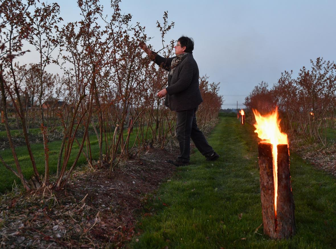 Ovocnáři v Německu bojují s mrazem