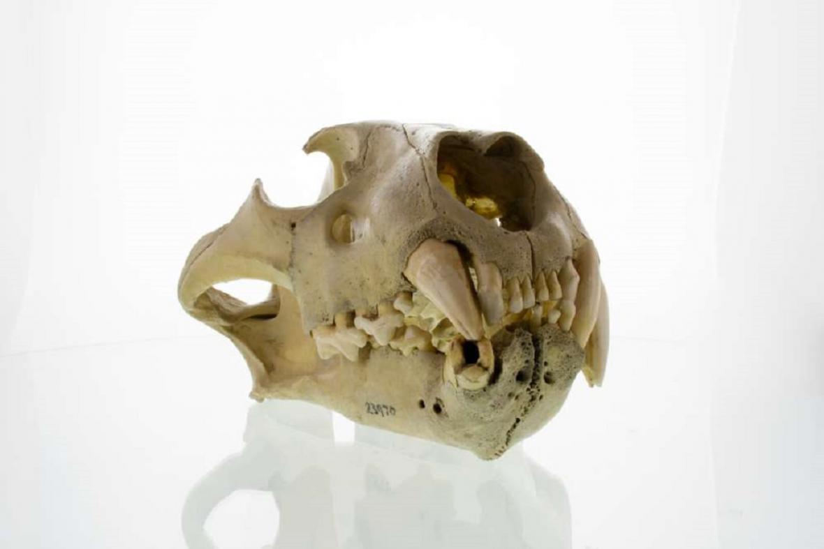 Lebka lvího lidožrouta z Tsava