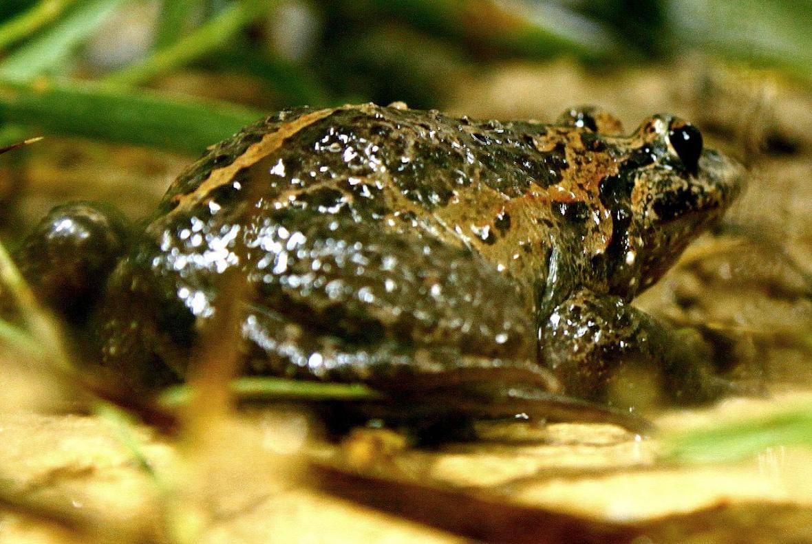 Žabka černobřichá