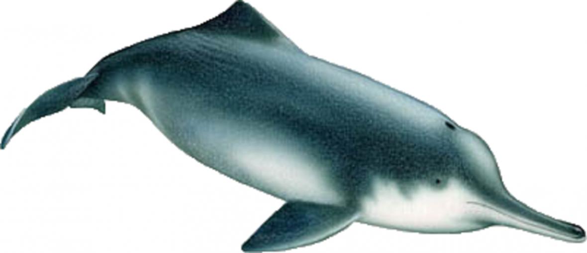 Delfínovec čínský