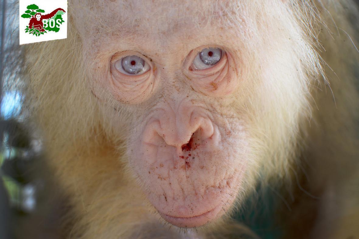 Albínský orangutan