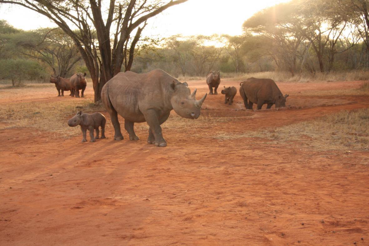 Mláďata nosorožců v Africe