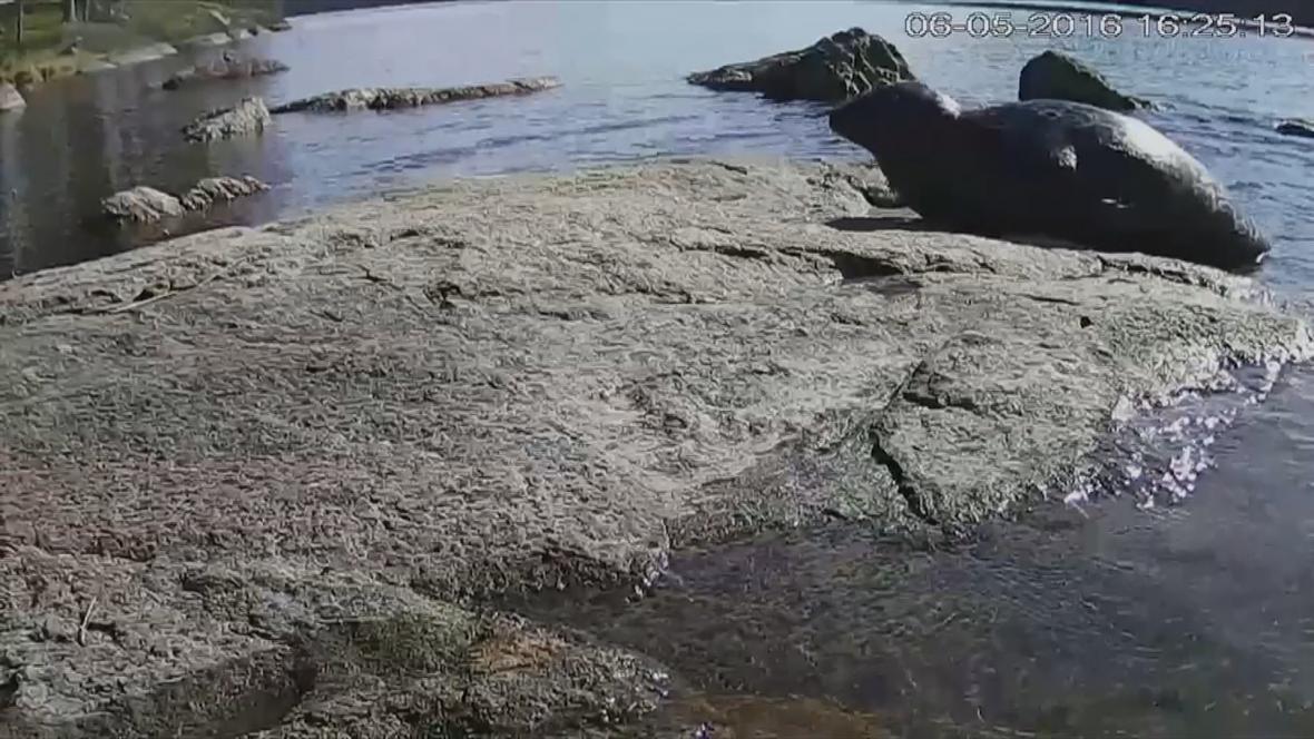 Tuleň kroužkovaný na záběru z webkamery
