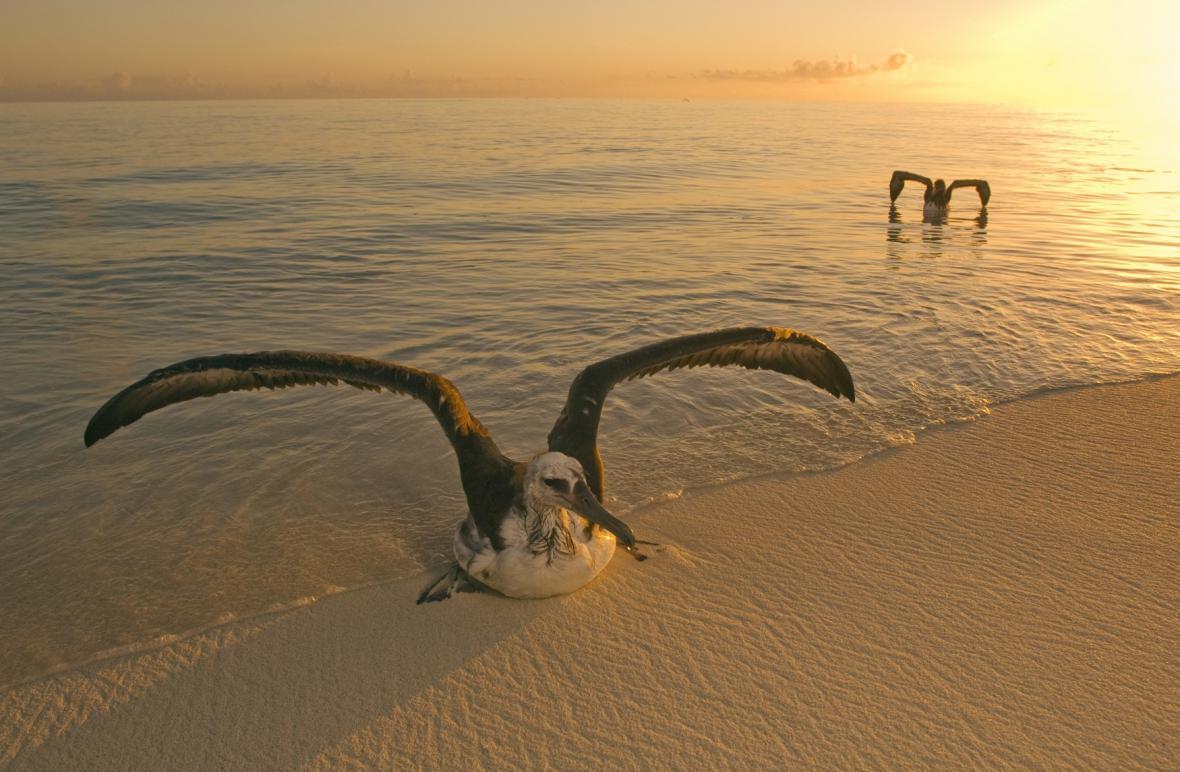 Albatros u Midwaye