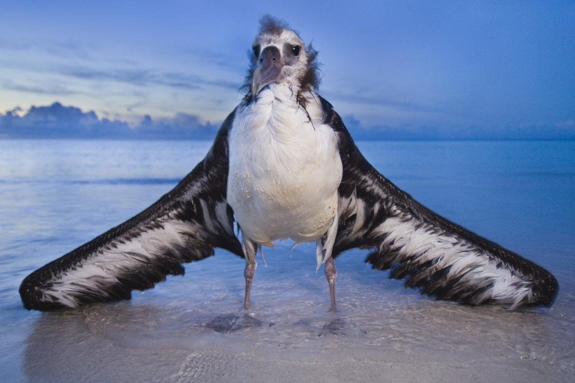 Albatros na atolu Midway