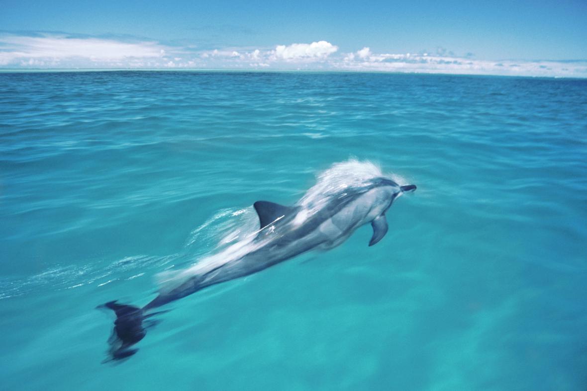 Delfín u atolu Midway