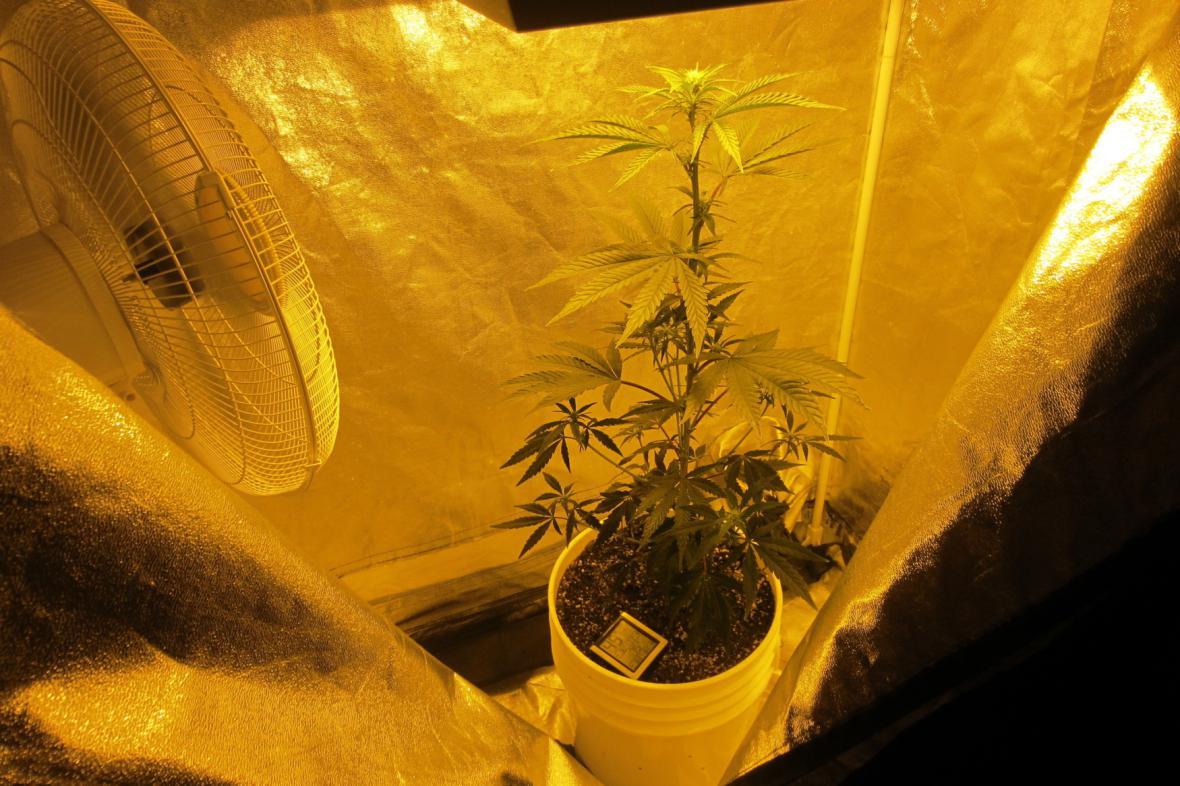 Pěstování marihuany