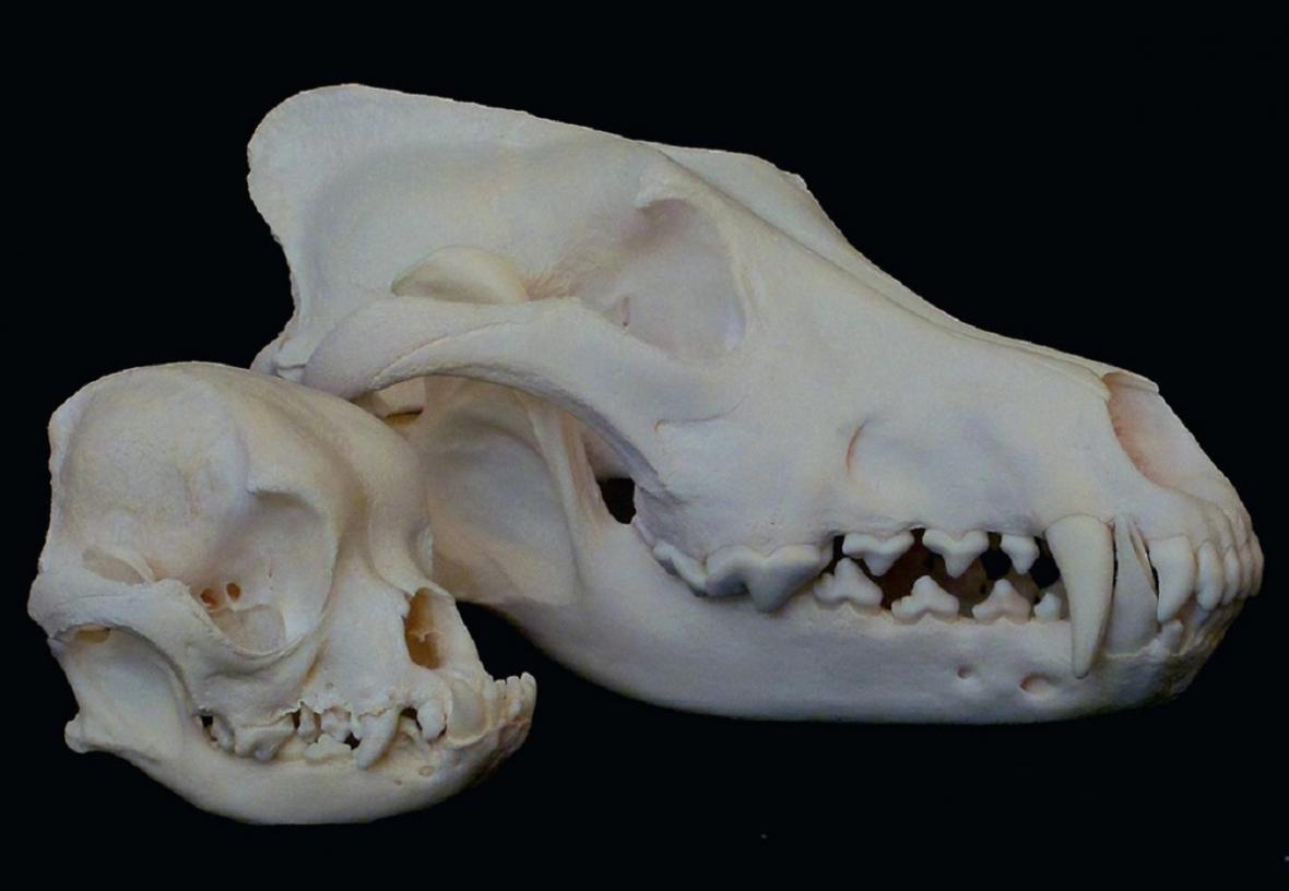 Srovnání lebky normálního psa a mopse
