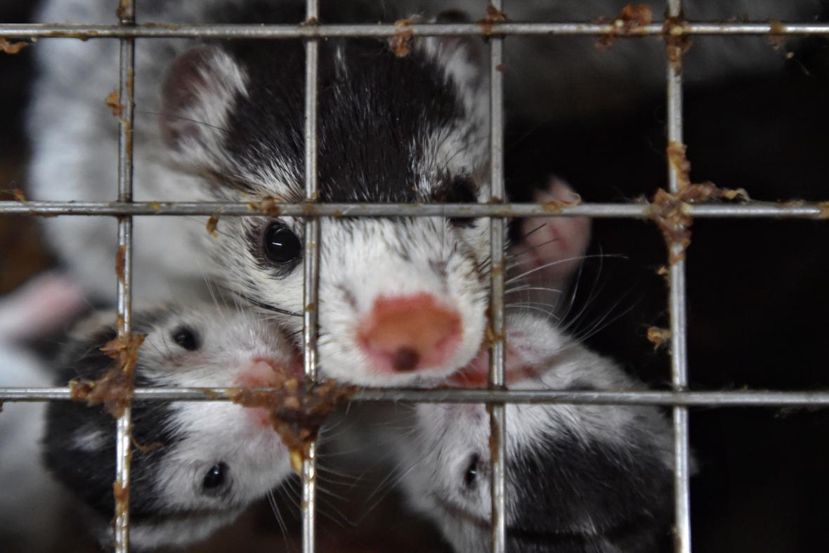 Chov norků na největší české kožešinové farmě ve Velkém Ratmírově