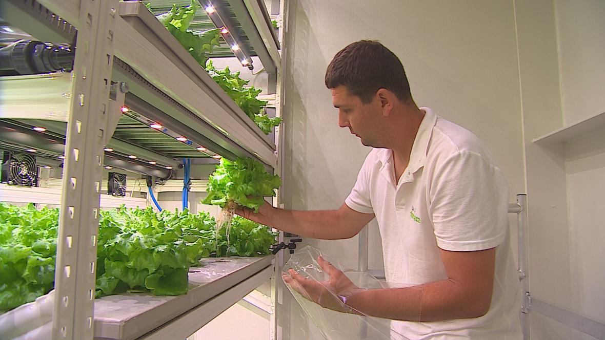 Vypěstovaný salát se může rovnou konzumovat