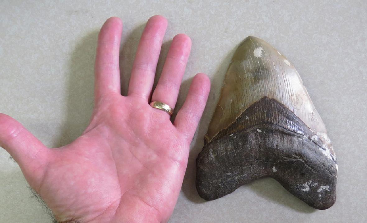 Zub megalodona