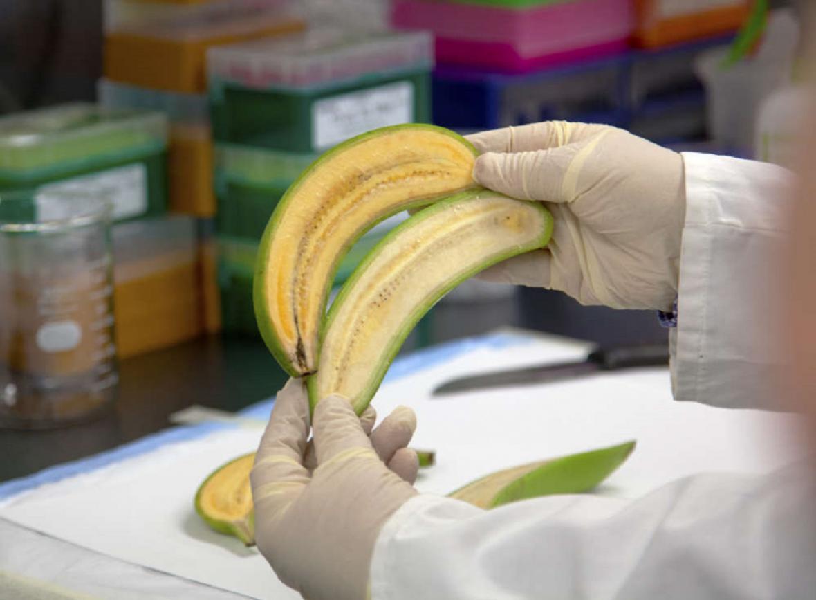 Zlaté banány
