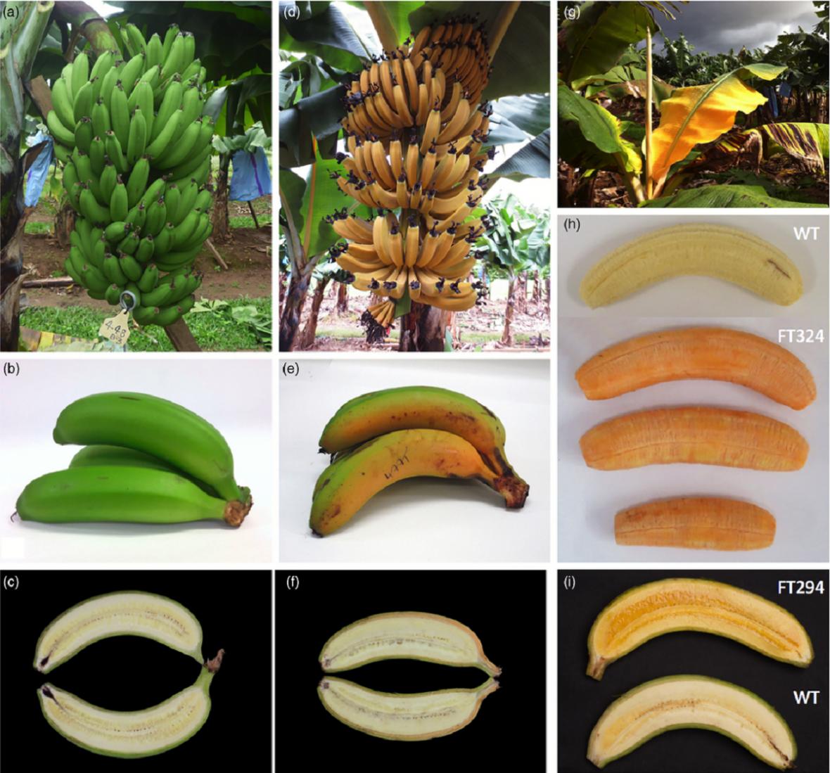 Srovnání klasických banánů Cavendish se zlatými banány