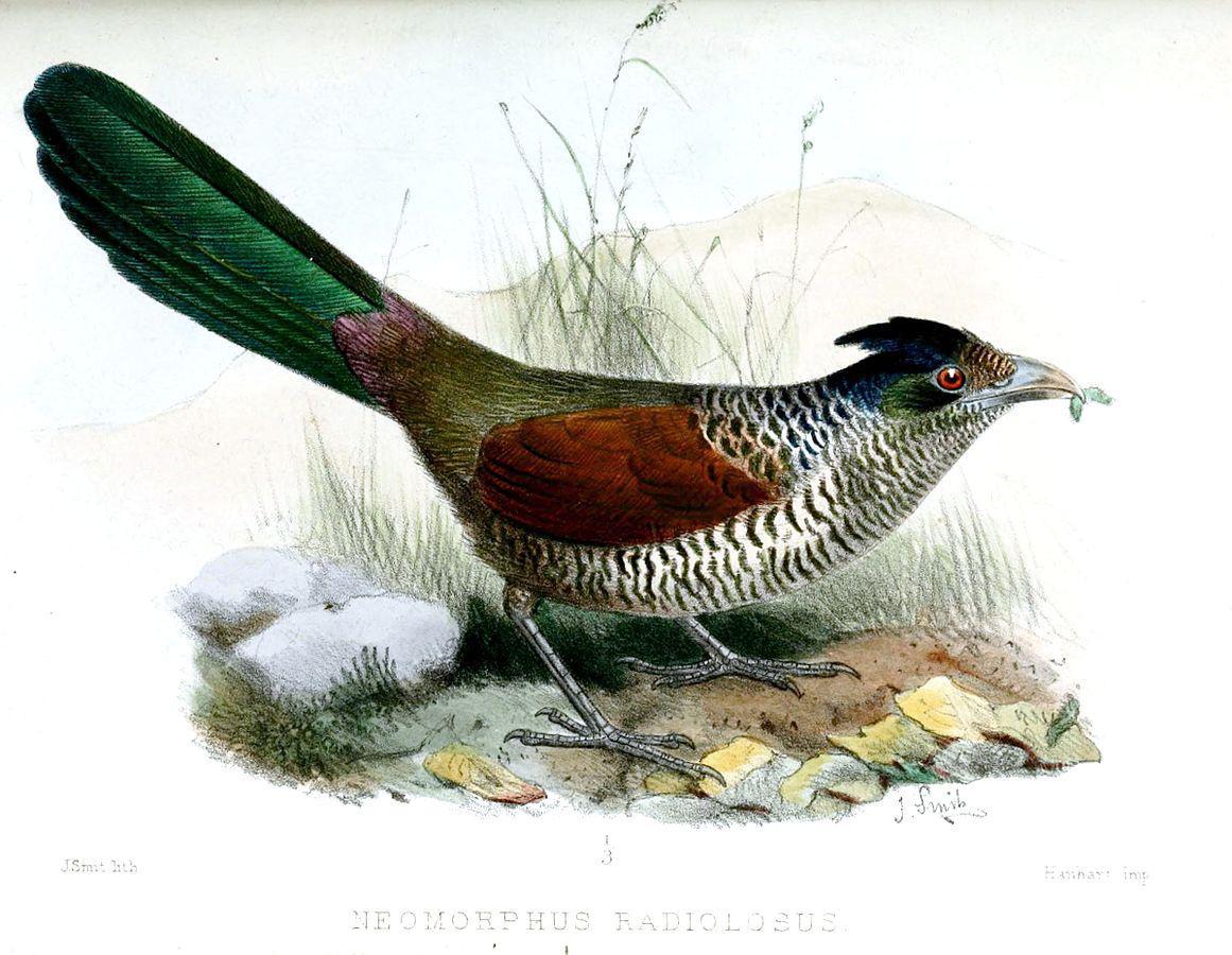 Kukačka ekvádorská