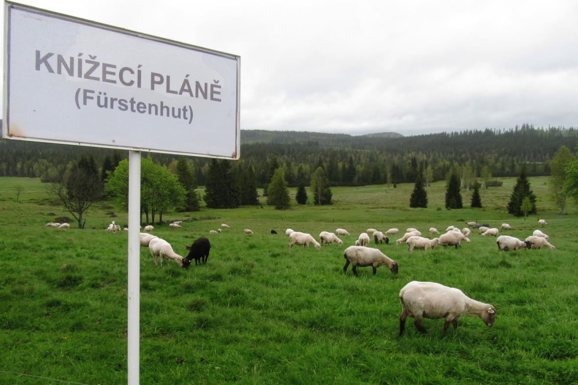 Ovce na Knížecích Pláních na Šumavě na snímku z roku 2013