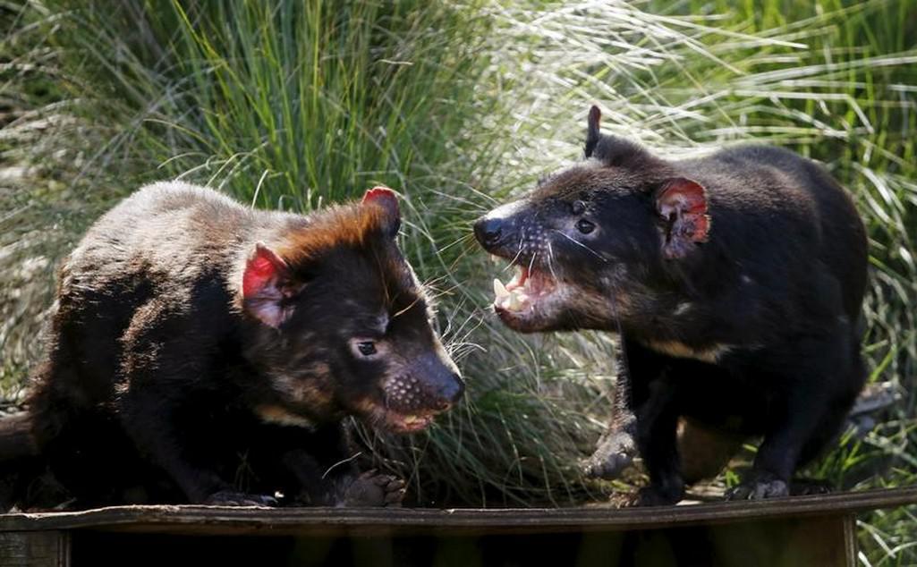 Tasmánští čerti