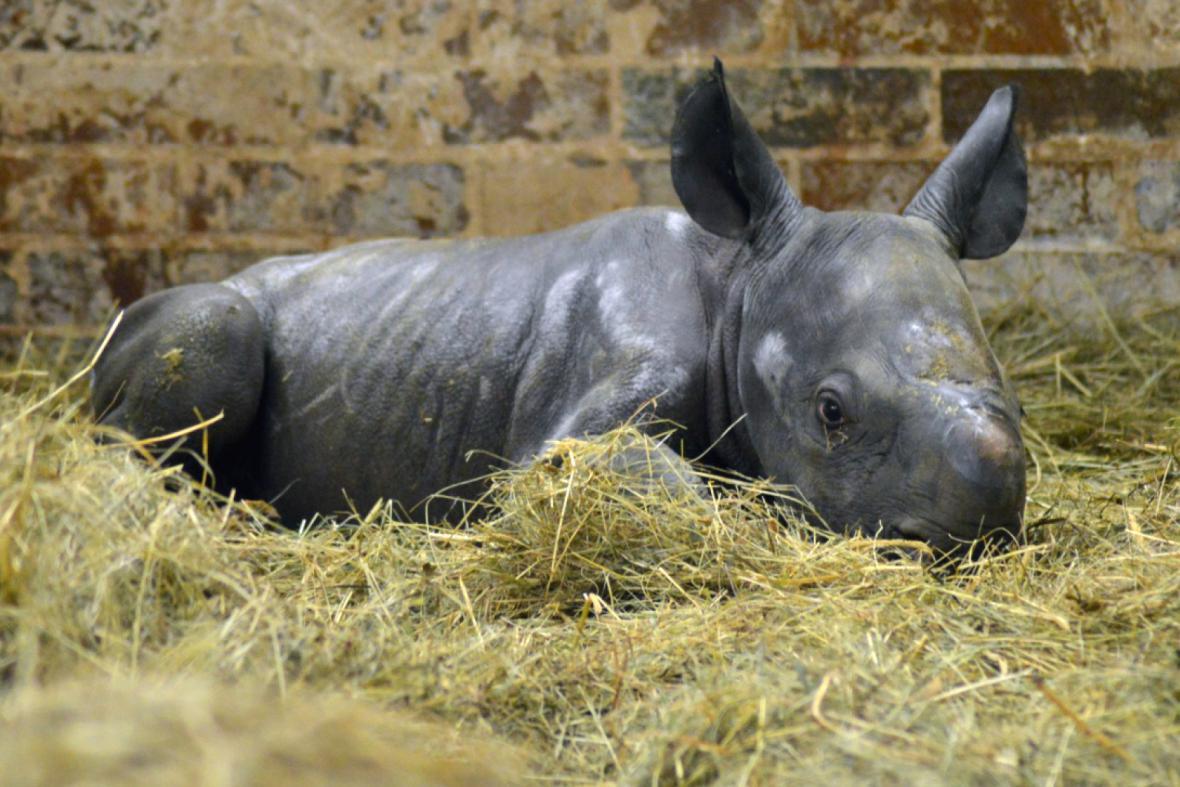 Mládě nosorožce