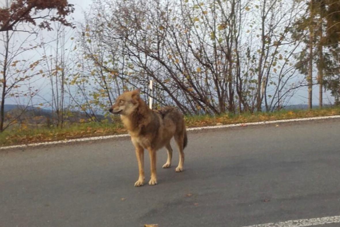 Na Šumavě vyfotili divokého vlka
