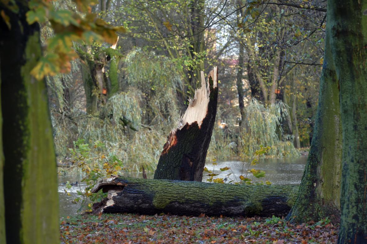 Spadlý strom v parku v centru Sokolova.