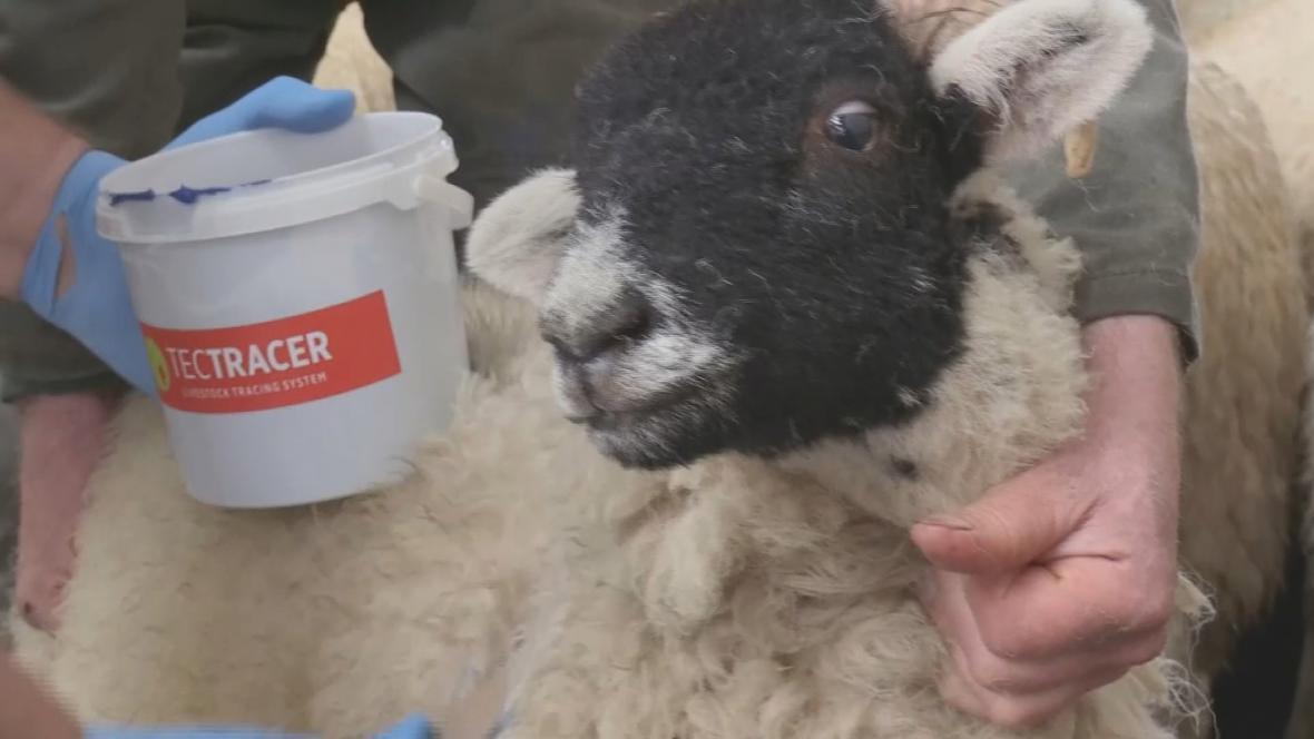 Značení ovcí technologií TecTracer