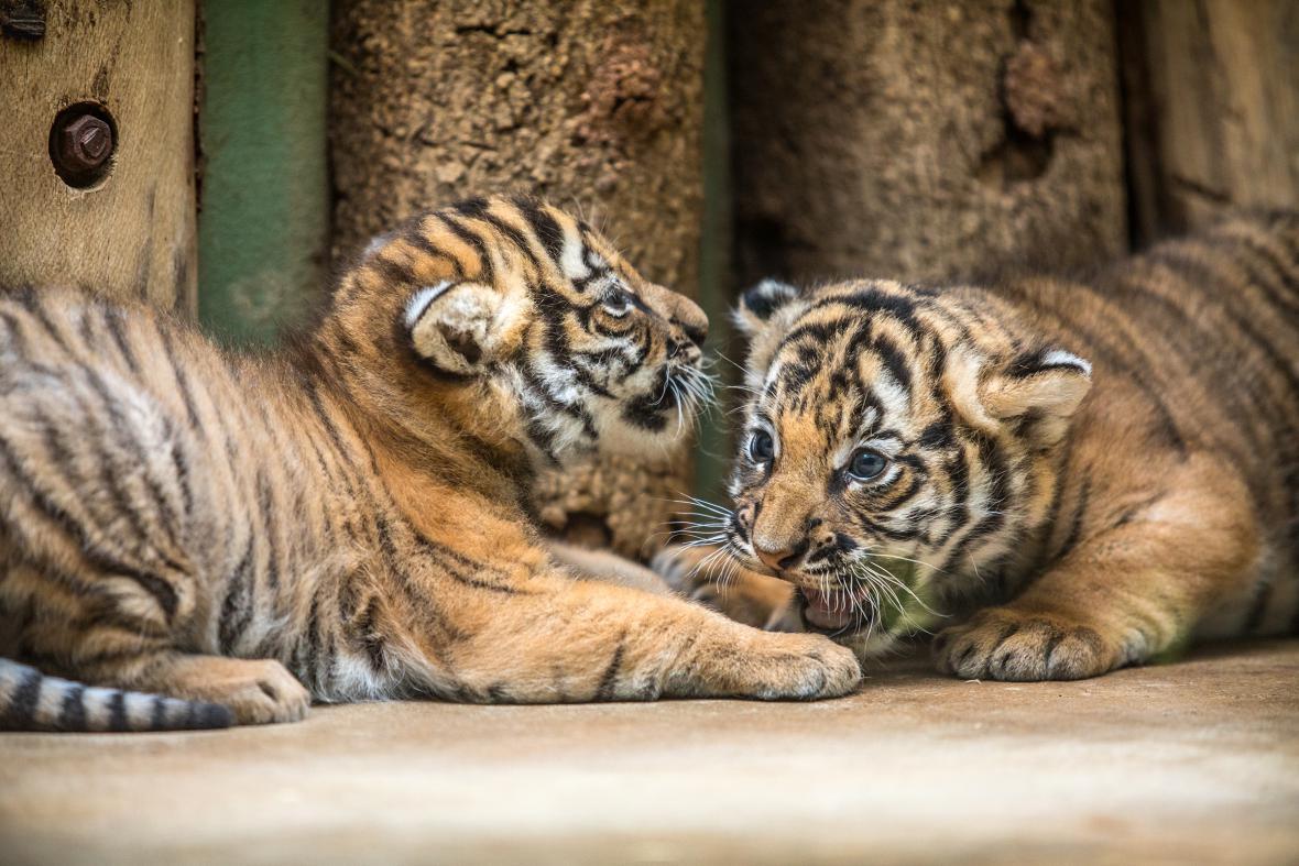Od čtvrtka budou moci návštěvníci v Zoo Praha vidět dvě mláďata tygra malajského