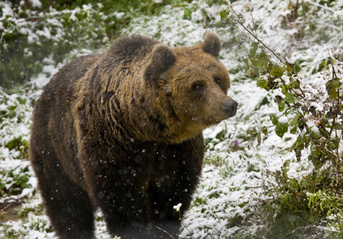 Medvěd hnědý v Rumunsku