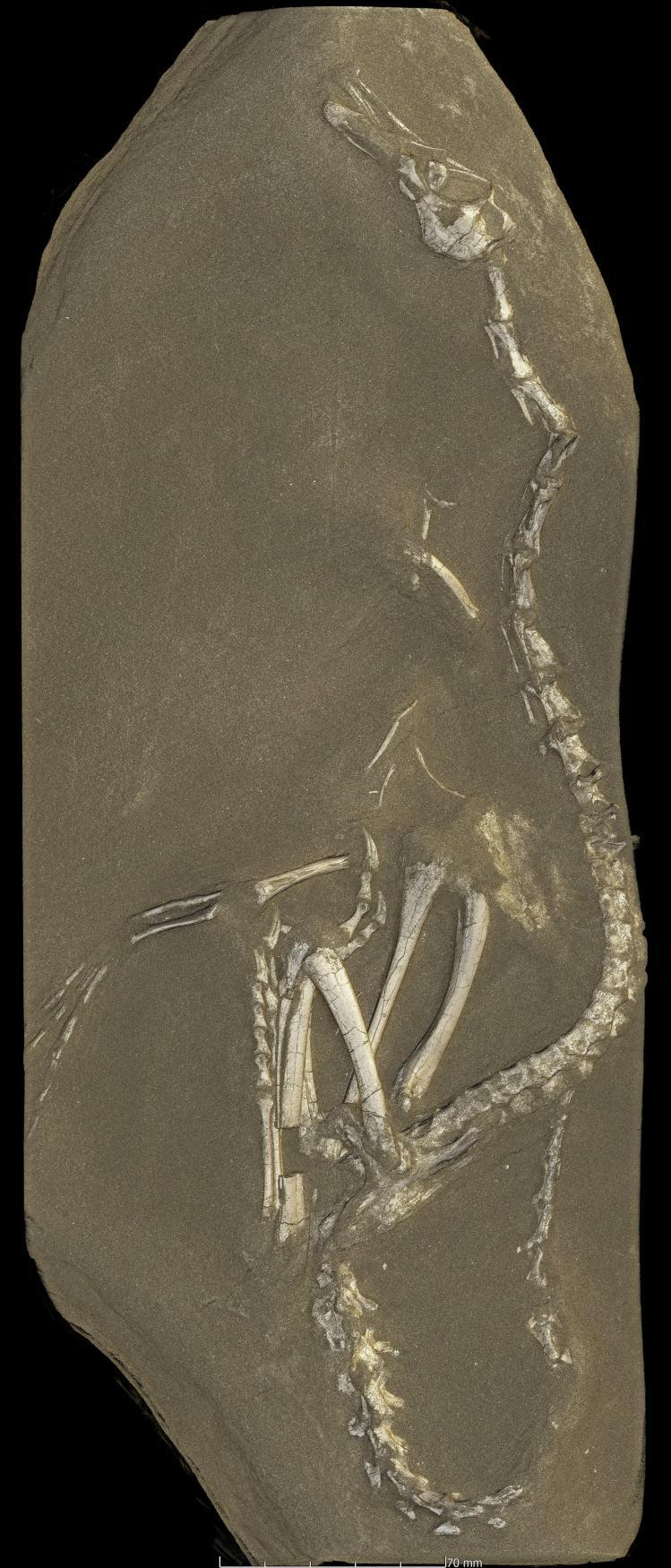 Halszkaraptor escuilliei
