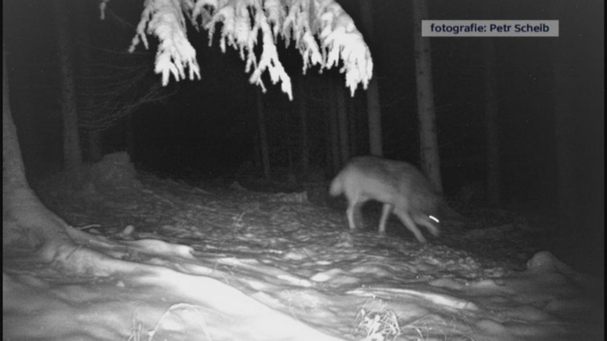 Vlk zachycený fotopastí ve Žďárských vrších (1. 12. 2017)