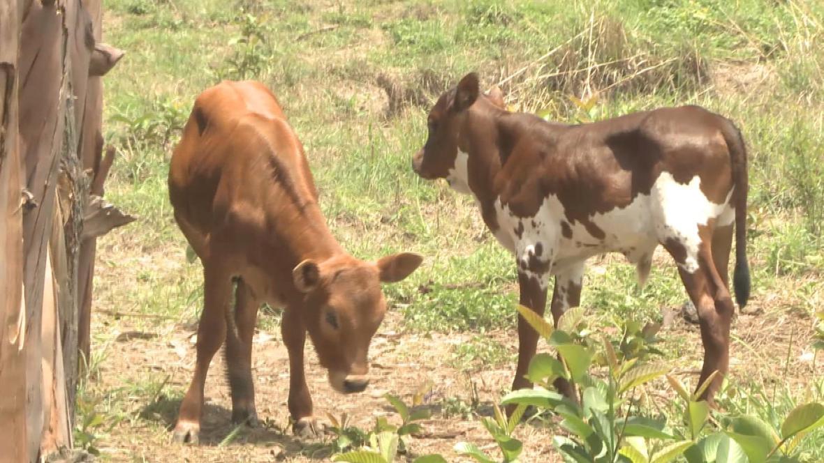 Krávy jsou v angolských vesnicích symbolem bohatství