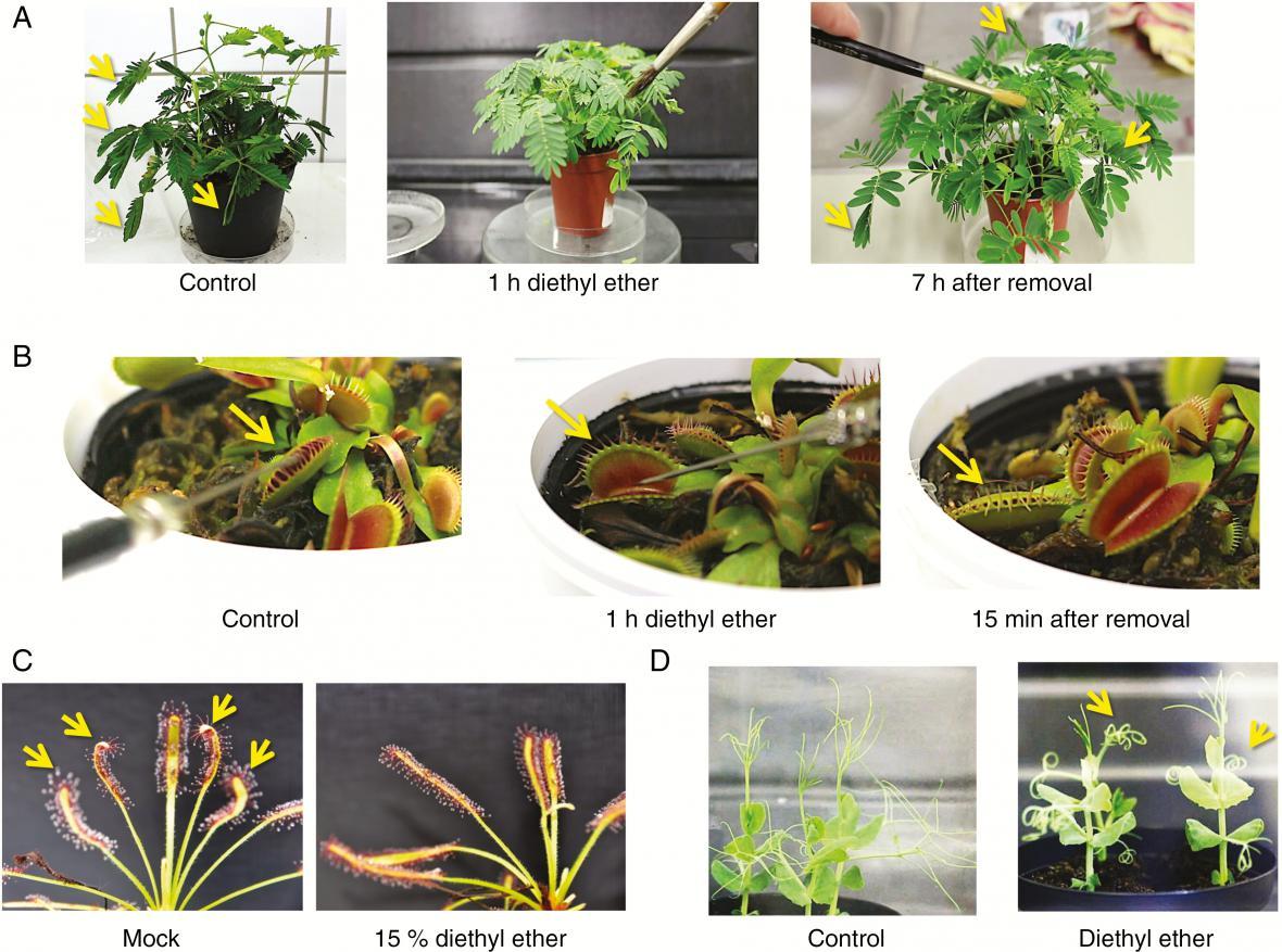 Ukázka působení anestetik na rostliny