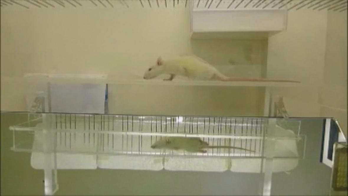 Testovaná krysa