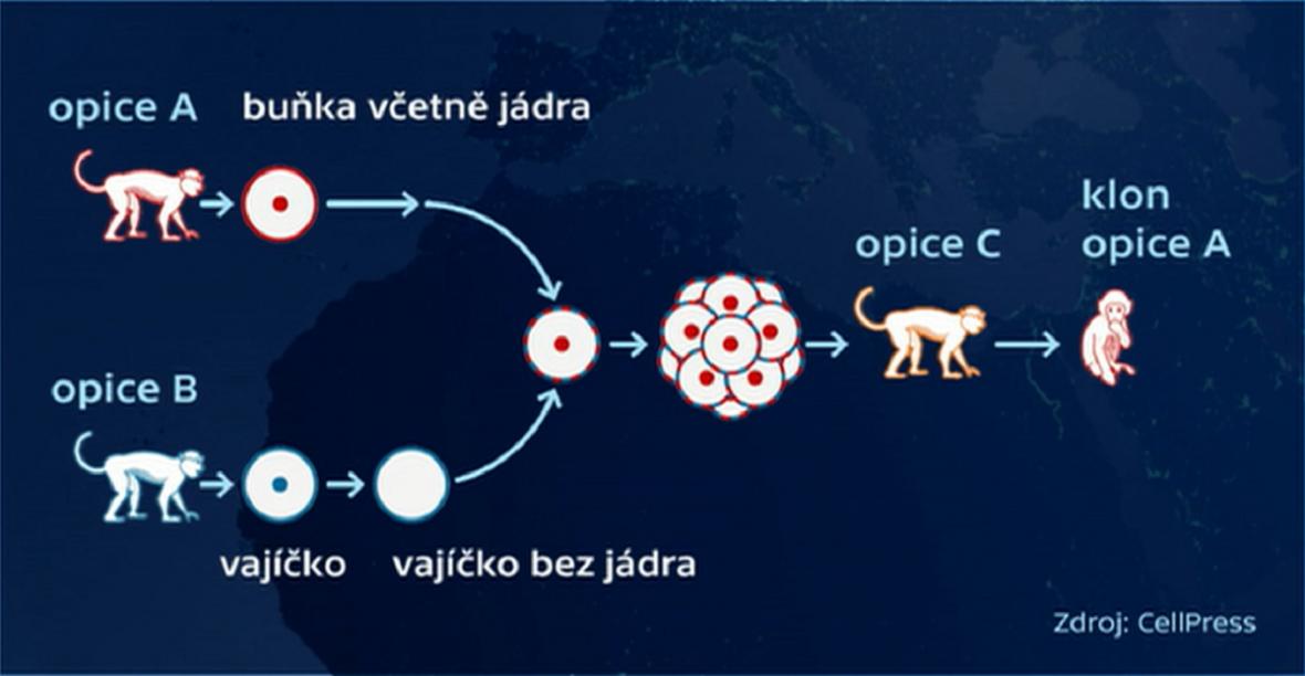 Princip klonování primátů