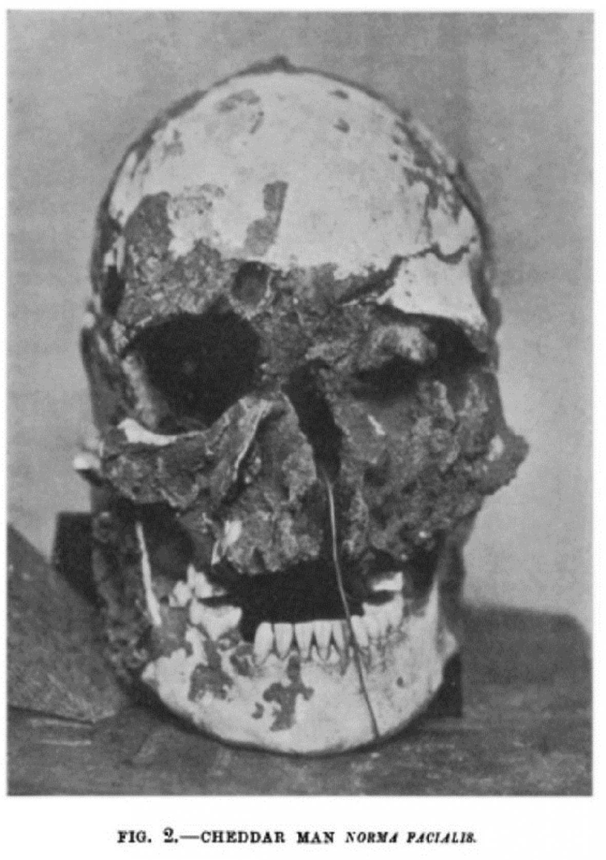 Lebka muže z Cheddaru