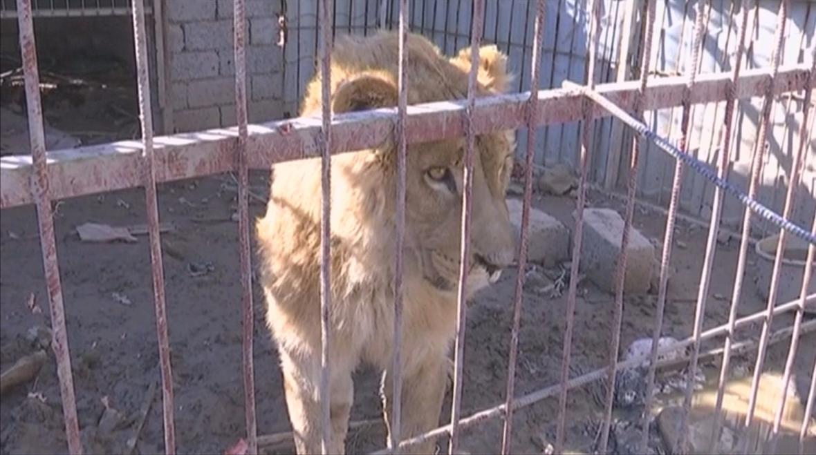 Simba v zuboženém stavu v mosulské zoo