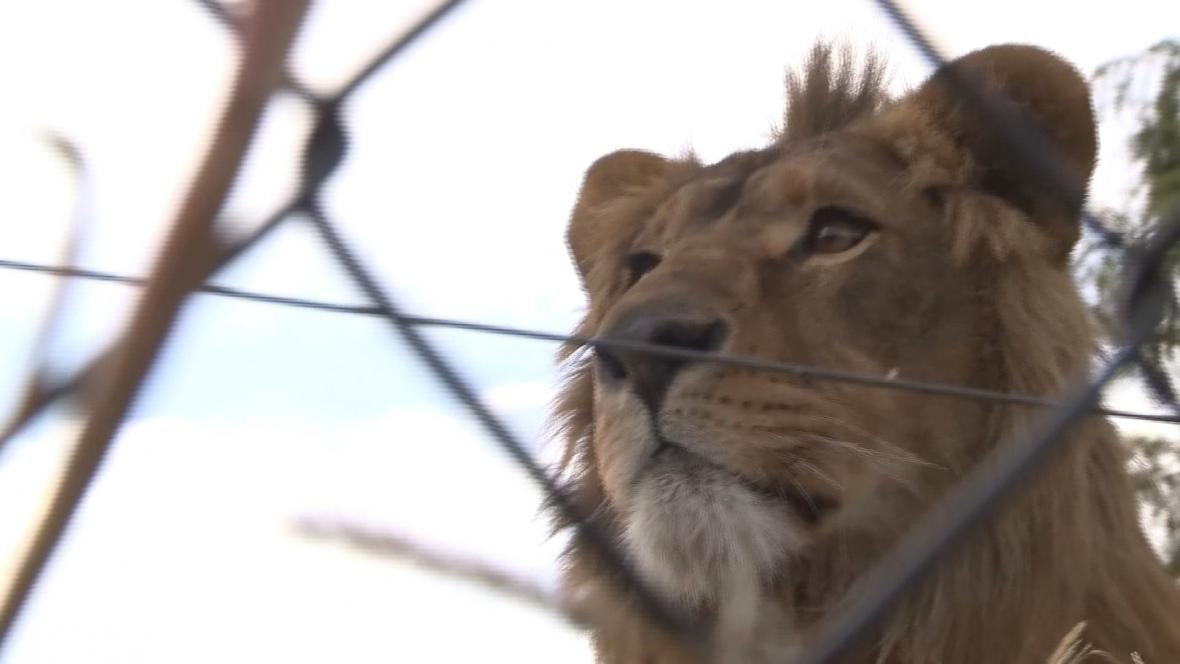 Zachránění lvi mají to nejhorší za sebou