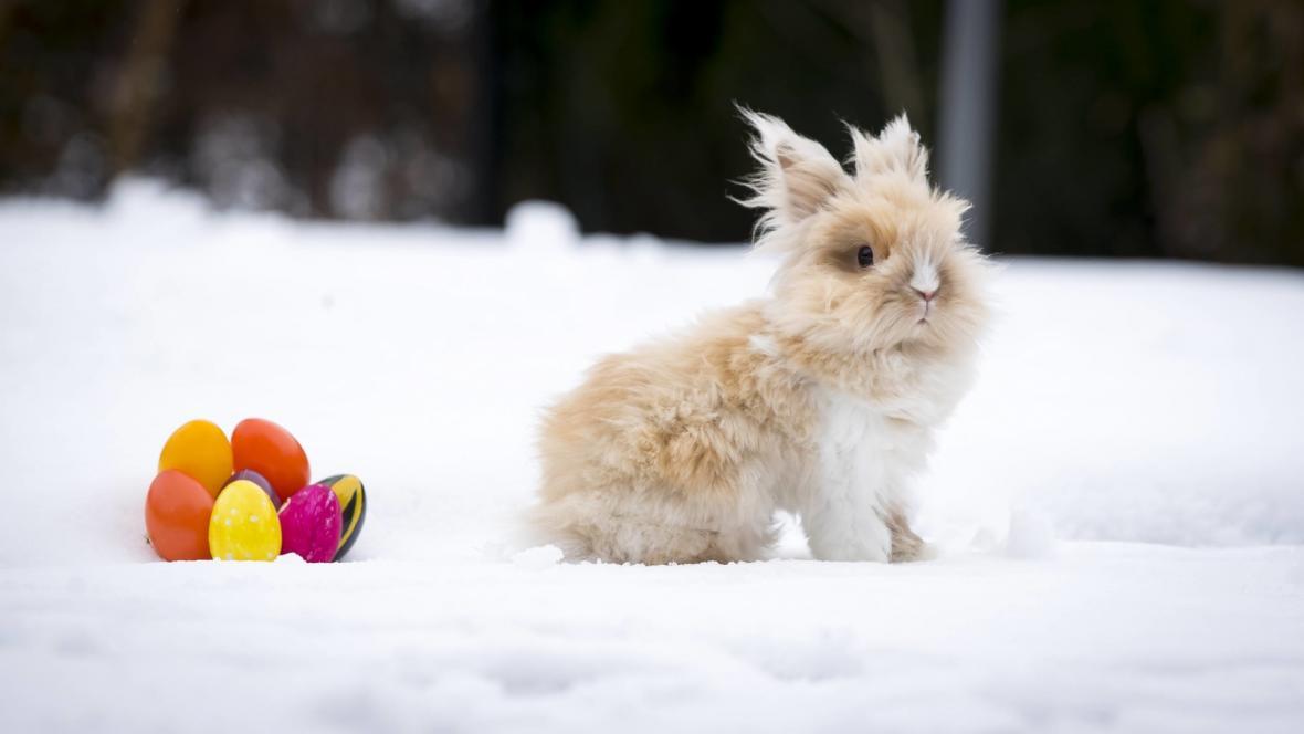 Králík na sněhu v