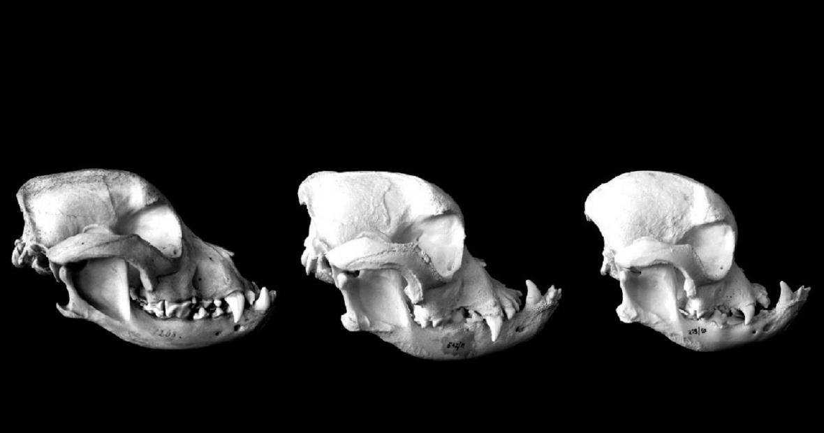 Změna tvaru lebky u britských buldoků za posledních 50 let