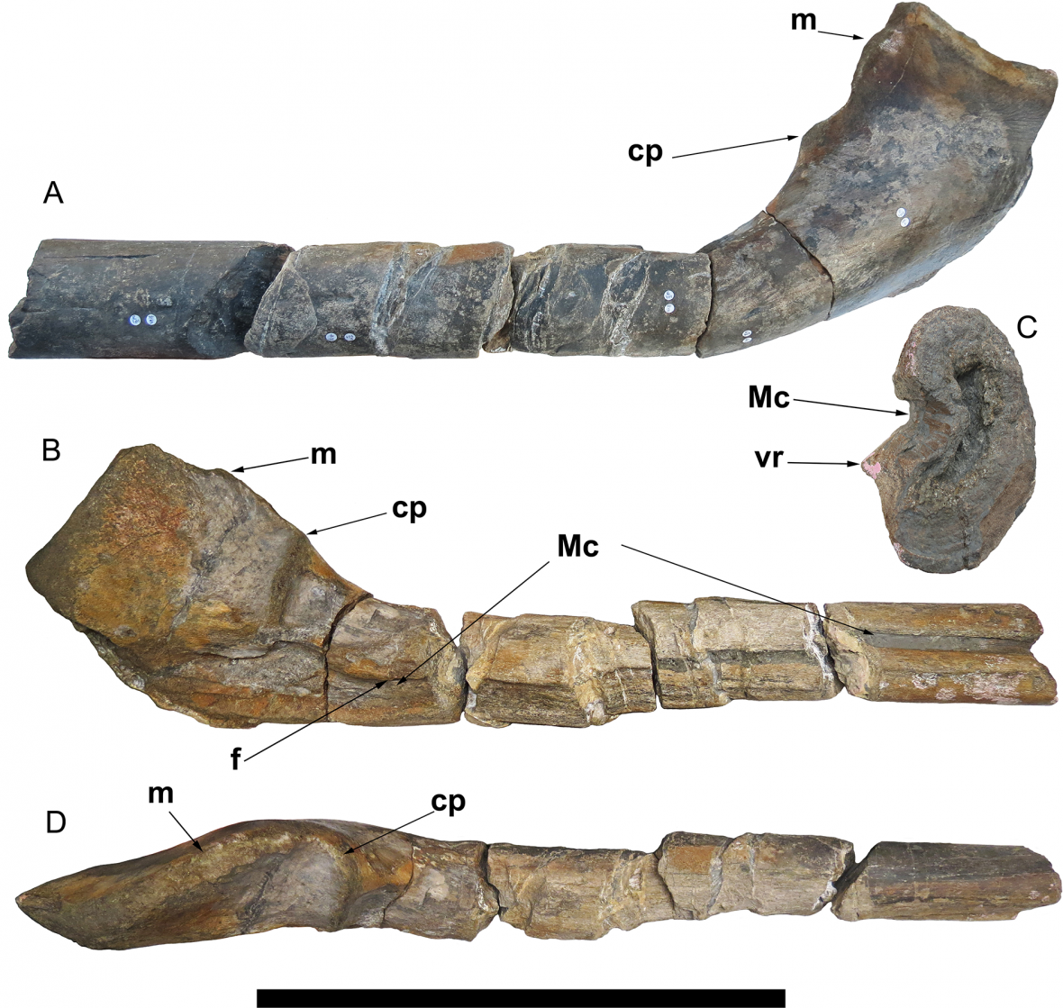 Kosti nově objeveného ichtyosaura