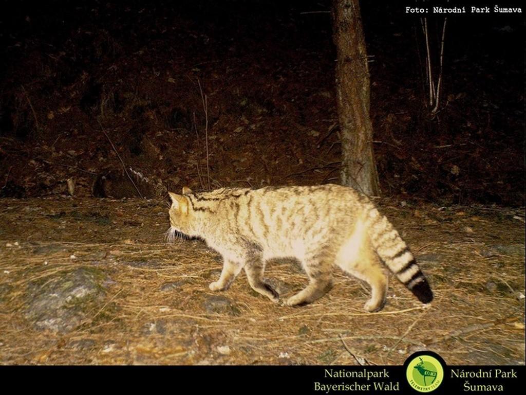 Fotopast zachytila na Šumavě kočku divokou