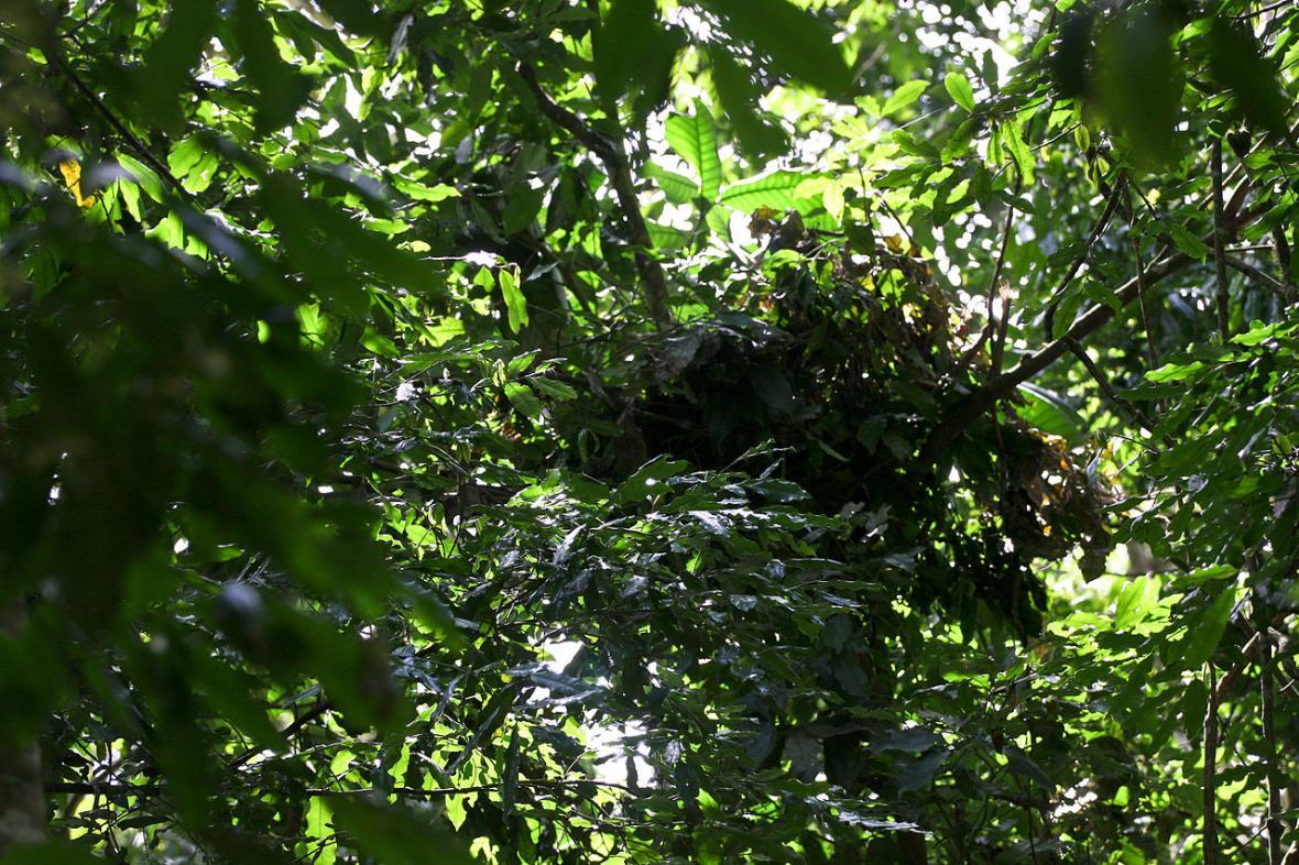 Šimpanzí hnízdo