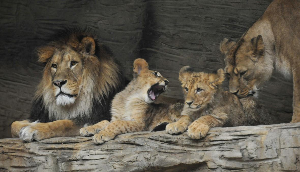 Lvi berberští v olomoucké zahradě