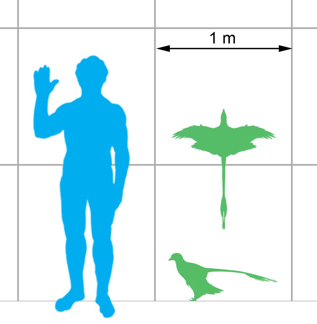 Srovnání mikroraptora s člověkem