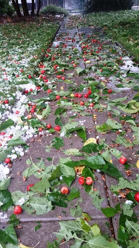 Potlučené třešně od krupobití