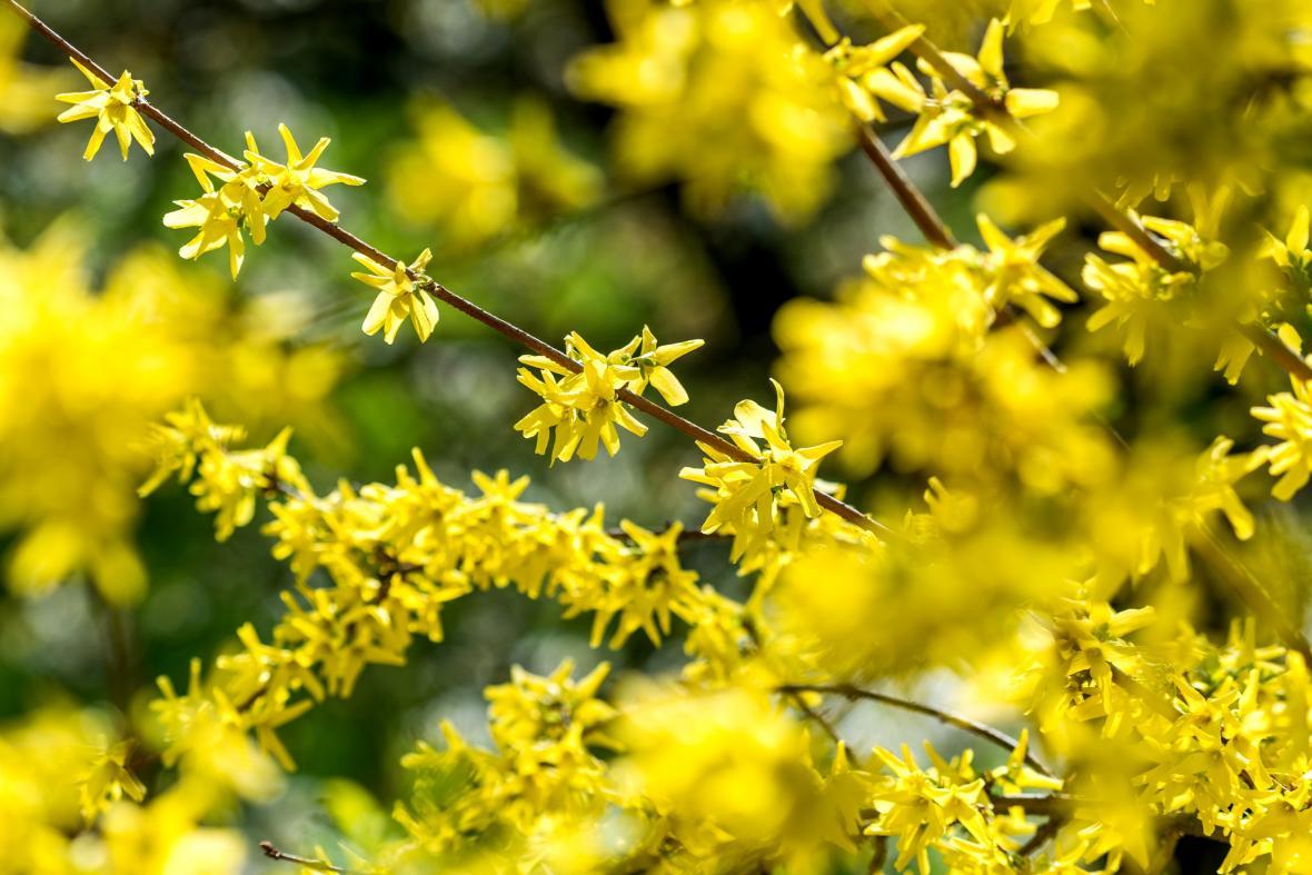 Zlatice, rovněž označovaná jako zlatý déšť