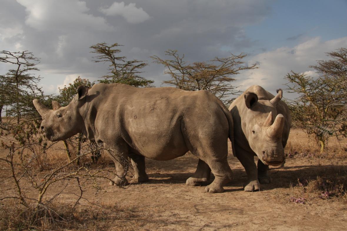 Nosorožci - samice Fatu