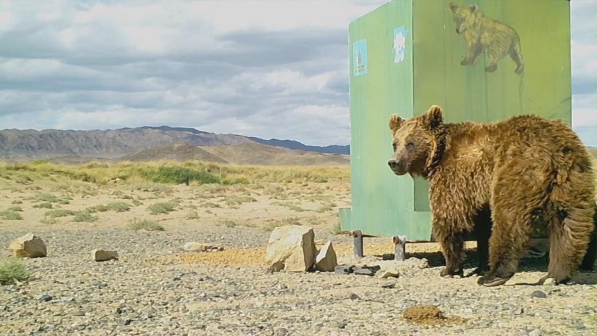 Medvěd mazalaj v mongolské rezervaci Gobi A