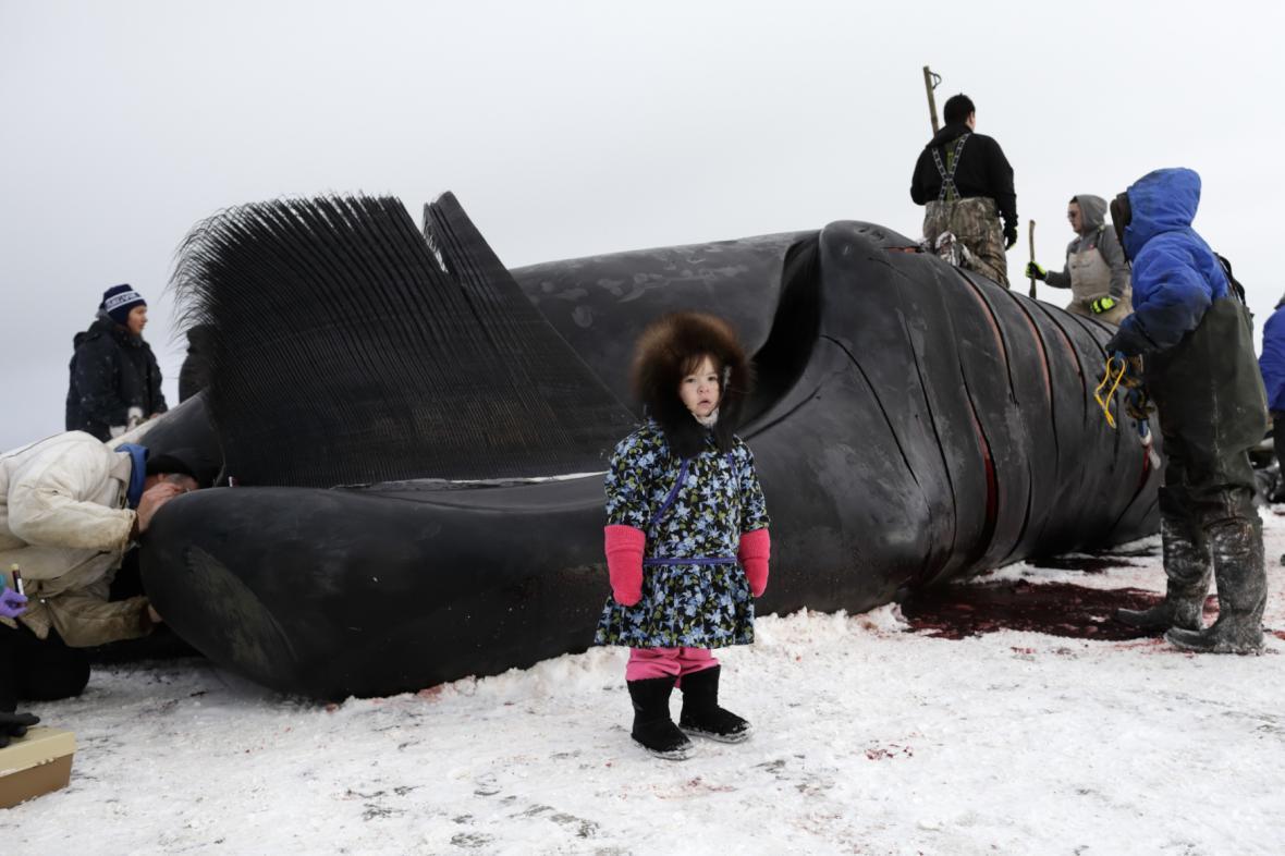 Ulovit velrybu není po technické stránce nic složitého. Domorodé obyvatelstvo severu používá po staletí stejné metody